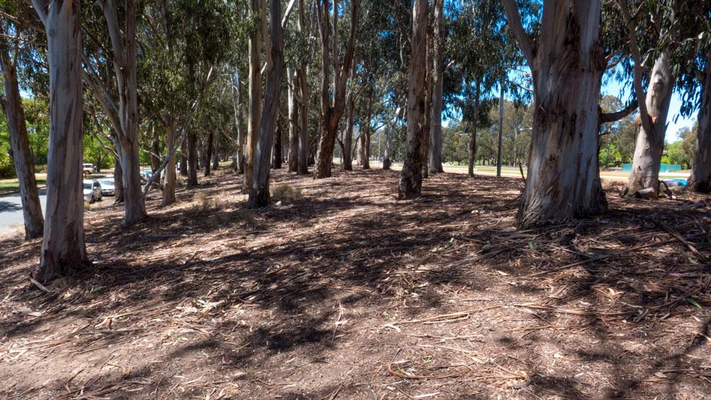 Anzac-trees01